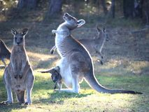 Laughing Grey Kangaroo with Joey. Scratching, in front of smaller kangaroo Stock Photography