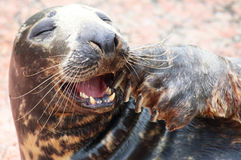 Laughing Grey seal. A portrait of a laughing grey seal royalty free stock photo