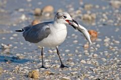 Laughing Gull. With Fish in his Beak Stock Photos