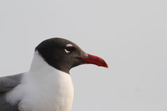 Free Laughing Gull Royalty Free Stock Photo - 21153295