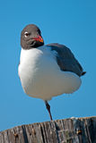 Laughing Gull Royalty Free Stock Images