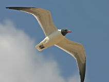 Laughing Gull. A Laughing Gull in flight against the sky Stock Image