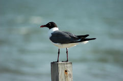 Laughing Gull Stock Photos