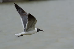 Free Laughing Gull Stock Photos - 71828943