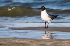 Laughing Gull on Beach at Shoreline Royalty Free Stock Photos