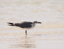 Laughing Gull on the Beach in the Yucatan, Mexico Stock Photos