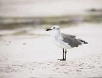 Laughing Gull on the Beach in the Yucatan, Mexico Royalty Free Stock Photography