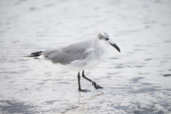 Laughing Gull on the Beach in the Yucatan, Mexico Stock Image