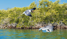 Laughing Gull Birds Flying Stock Image
