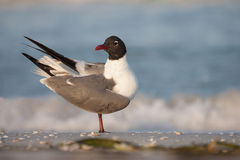 Laughing Gull. A laughing gull in breeding plumage Royalty Free Stock Photo