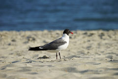 Laughing Gull in breeding plumage profile in natural habitat. Laughing Gull in breeding plumage profile in natural beach setting Royalty Free Stock Photo