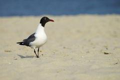 Laughing Gull in breeding plumage Royalty Free Stock Photo