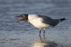 Laughing Gull Calling to Establish its Territory - Florida Royalty Free Stock Photos