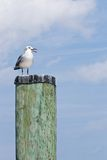 Laughing Gull on a Capped Pile. Laughing Gull (Leucophaeus atricilla) standing on a capped pile with sky and clouds in background in Chesapeake Beach, Maryland stock images