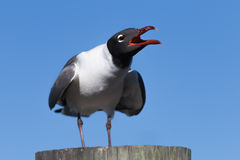 Free Laughing Gull Cawing, Clearwater, Florida Royalty Free Stock Photography - 90586537