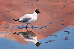Laughing gull Chroicocephalus ridibundus in Hedionda stinking lake lagoon, Bolivia Stock Photo