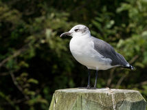 Laughing Gull with a Dark Green Backgroun. Laughing Gull (Leucophaeus atricilla) with a dark green background in Chesapeake Beach, Maryland USA royalty free stock image