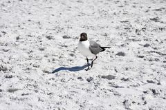 Laughing Gull enjoying the beach stock image