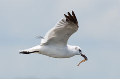 Laughing Gull Feeding Stock Photos