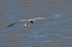 Laughing Gull in Flight. Laughing Gull (Larus atricilla) in flight over the ocean royalty free stock images