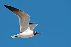 Laughing Gull Stock Photography