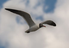 Laughing Gull in Flight Stock Photos