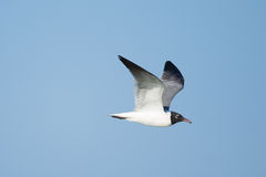 Laughing Gull in flight Stock Image