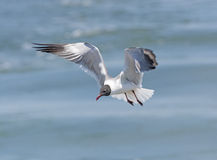 Laughing Gull in Flight Royalty Free Stock Photography