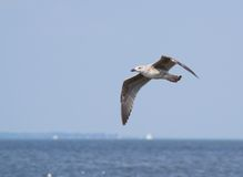Laughing Gull in Flight over Water Royalty Free Stock Photos