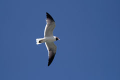 Laughing Gull Royalty Free Stock Photo