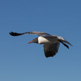 Laughing Gull Flying, Clearwater, Florida Royalty Free Stock Photo