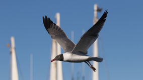 Laughing Gull Flying, Clearwater, Florida Stock Photos