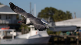 Laughing Gull Flying, Clearwater, Florida Royalty Free Stock Photography