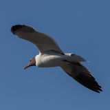 Laughing Gull Flying, Clearwater, Florida Stock Images