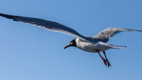 Laughing Gull Flying, Clearwater, Florida Royalty Free Stock Image