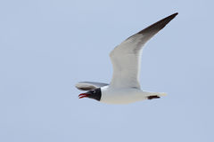 Laughing Gull flying with an icy blue sky background Stock Image