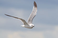 Laughing Gull Flying Stock Image