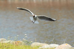 Laughing gull Stock Images