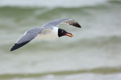 Laughing gull flying with a peanut Royalty Free Stock Image