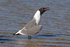 Laughing Gull in Fort De Soto State Park, Florida. Laughing Gull, Leucophaeus atricilla, in shallow water on Fort De Soto State Park, Florida stock photos