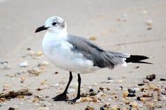 Laughing Gull. An immature laughing gull, Leucophaeus atricilla, on the beach Stock Photos