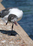 Laughing Gull with an Itch Stock Images