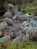 Laughing gull landing among white ibises in Florida. Stock Photos