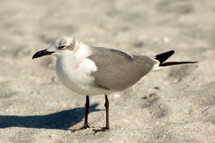 Laughing Gull (Larus atricilla) Stock Photos