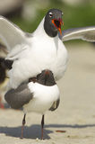 Laughing Gull, Larus atricilla Stock Images