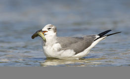 Laughing Gull, Larus atricilla Royalty Free Stock Photo