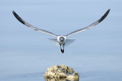 Laughing gull, larus atricilla Royalty Free Stock Image