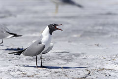 Laughing gull, larus atricilla Stock Image