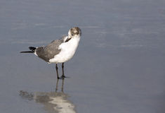Free Laughing Gull (Larus Atricilla) Royalty Free Stock Image - 33114896