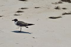 Free Laughing Gull (Larus Atricilla) Royalty Free Stock Photo - 73606395